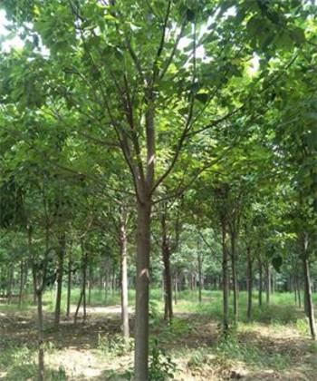 君安苗木种植基地常年供应各种规格楸树,梓树,千头椿等苗木