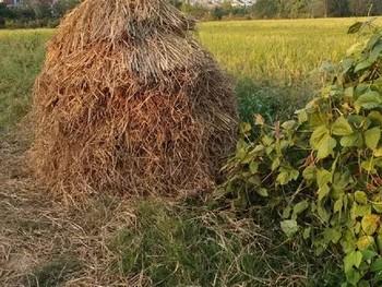 农家稻谷堆