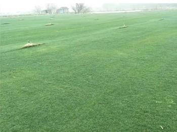 矮生百慕大+黑麦草混合草坪